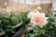 Blommarosa färgros i trädgård Arkivfoto