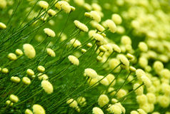 blommarosmarinsantolina Arkivfoto