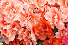blommas blommor Arkivfoton
