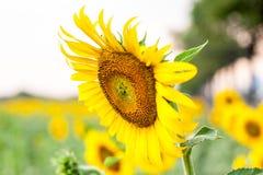 blommas fältsolrosor Arkivbilder