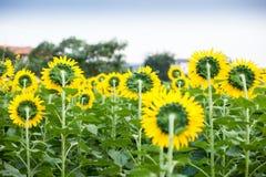 blommas fältsolrosor Royaltyfri Fotografi