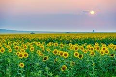 blommas fältsolrosor Arkivfoton