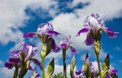 blommas irises Fotografering för Bildbyråer