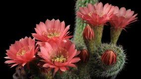blommas kaktusblommor lager videofilmer