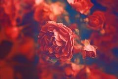 blommas ro Arkivbild