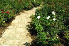 Blommas rosebushes och en stenlagd bana i en ro arbeta i trädgården Royaltyfria Bilder