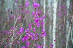 blommas rosmarinar Royaltyfria Bilder