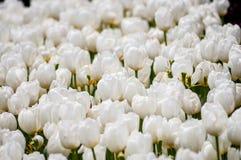 blommas tulpan Royaltyfri Fotografi