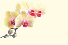 blommas vita blommaorchids Royaltyfri Bild