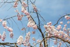 Blommasakura vår Arkivfoton