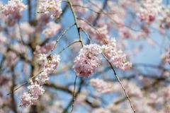 Blommasakura vår royaltyfri fotografi
