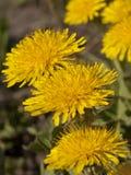 Blommasammansättning från gula maskrosor Arkivfoto