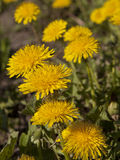 Blommasammansättning från gula maskrosor Fotografering för Bildbyråer