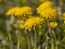 Blommasammansättning från gula maskrosor Arkivbild
