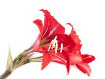 Blommasammansättning. Härlig röd blomma Royaltyfria Foton