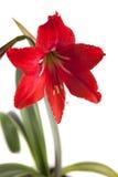 Blommasammansättning. Härlig röd blomma Arkivfoto