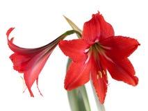 Blommasammansättning. Härlig röd blomma Arkivbild