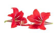 Blommasammansättning. Härlig röd blomma Arkivfoton