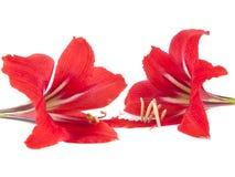 Blommasammansättning. Härlig röd blomma Arkivbilder