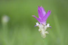 BlommaSiam Tulip blomma Arkivbild