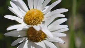 Blommaskakor f?r vit tusensk?na vid vinden i sommar i ett f?lt N?rbild H?rliga v?rtusensk?nor i ?ngen l?ngsamt stock video