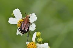 Blommaskalbaggar arkivfoto