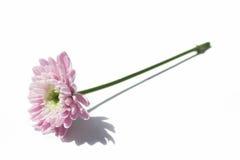 blommaskugga Fotografering för Bildbyråer