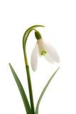 blommasnowdropfjäder royaltyfri fotografi