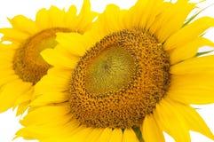 blommasolros Arkivfoto