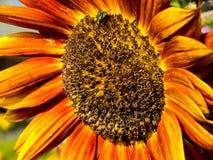 Blommasolros. Royaltyfri Bild