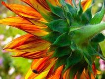 Blommasolros. Arkivbilder