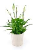 blommaspathiphyllum Fotografering för Bildbyråer