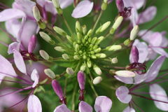 blommaspindel Arkivbilder
