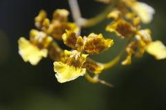 Blommastam av Oncidium Sphacelatum arkivfoton