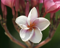 blommastjärnawhite Royaltyfri Foto
