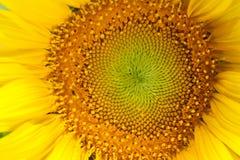 blommasun Royaltyfri Bild