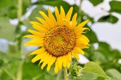 blommasun Royaltyfri Fotografi