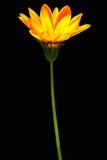 blommasun Royaltyfria Bilder