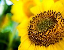 blommasun Arkivfoto