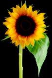blommasun Fotografering för Bildbyråer