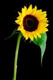 blommasun Arkivbild