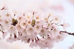 blommat blomningCherry full Fotografering för Bildbyråer