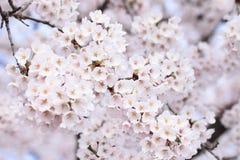 blommat blomningCherry full Arkivfoton