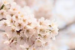 blommat blomningCherry full Arkivbilder