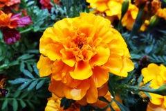 BlommaTagetes Patula ringblomma i trädgård i en sommarsäsong royaltyfri foto