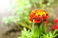 BlommaTagetes Patula ringblomma i trädgård i en sommarsäsong Vår och sommar i Polen fotografering för bildbyråer