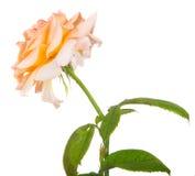 Blommatea steg Royaltyfri Fotografi