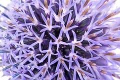 blommathistle Arkivbild