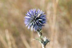 blommathistle Royaltyfri Fotografi