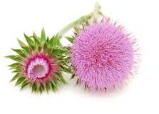 blommathistle Arkivbilder